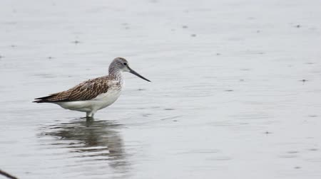 greenshank : Bird - common greenshank (Tringa nebularia) walks through the swamp. Bird searches for food and eats it. Stock Footage