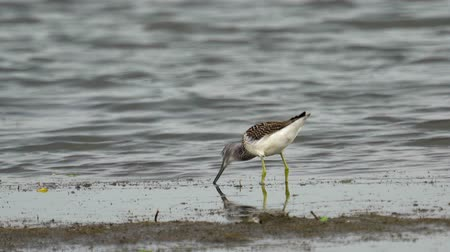 greenshank : Bird - common greenshank (Tringa nebularia) walks through the swamp. Bird eating fish. Stock Footage