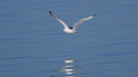 stěhovavý : Bird - young great black-headed gull (Larus ichthyaetus) in flight. Slow motion.