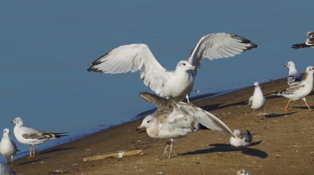 migratory birds : Bird - young great black-headed gull (Larus ichthyaetus) completes the flight and makes a landing. Slow motion.