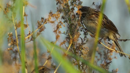 певчая птица : Bird - female Reed Bunting (Emberiza schoeniclus) sits in reed bushes and eats plant seeds. Close-up.