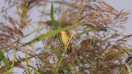 певчая птица : Bird - Sedge Warbler (Acrocephalus schoenobaenus) hiding in the bushes of reeds. Стоковые видеозаписи