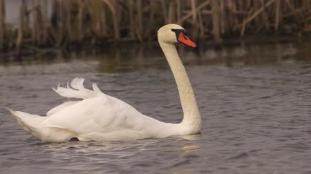 migratory birds : Bird Mute Swan (Cygnus olor) swims on the lake on a cloudy summer day.
