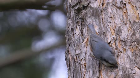 passerine bird : Bird - Eurasian Nuthatch (Sitta europaea) creeping along the trunk of a pine tree. Stock Footage
