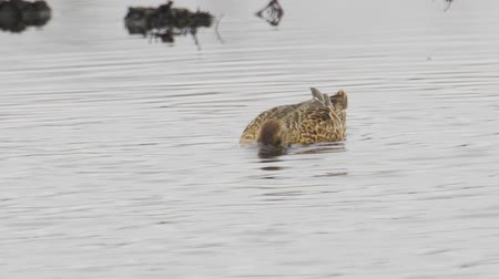 ingovány : Bird - female Garganey (Spatula querquedula) walks through the swamp. Bird searches for food and eats it.