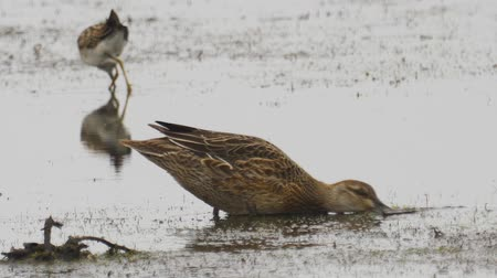 stěhovavý : Bird - female Garganey (Spatula querquedula) walks through the swamp. Bird searches for food and eats it.
