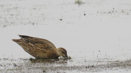 migratory birds : Bird - female Garganey (Spatula querquedula) walks through the swamp. Bird searches for food and eats it.