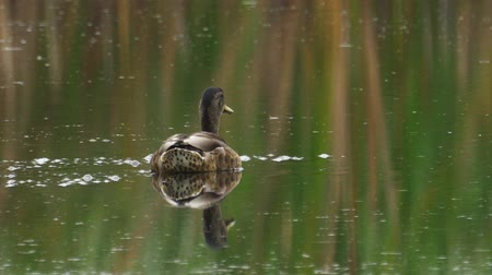 ingovány : Bird - female Mallard (Anas platyrhynchos) swims on the lake. Stock mozgókép
