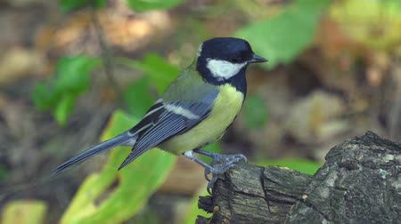 ave canora : Bird - great tit (Parus major) walks through the autumn forest. Close-up. Vídeos
