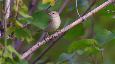 певчая птица : Bird - Garden Warbler (Sylvia borin) sitting on a branch of a bush.