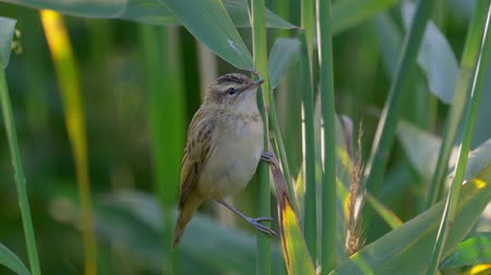 ave canora : Bird - Sedge Warbler (Acrocephalus schoenobaenus) sits on a bush of reeds. Close-up.