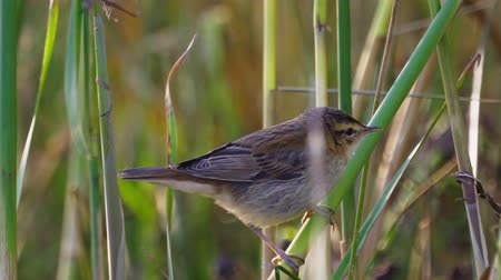 певчая птица : Bird - Sedge Warbler (Acrocephalus schoenobaenus) sits on a bush of reeds. Close-up.