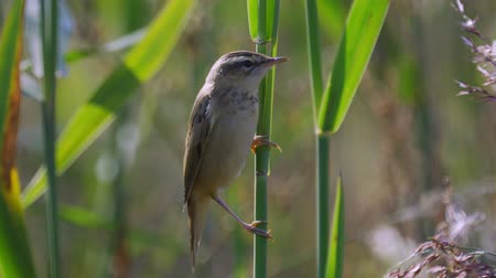 певчая птица : Bird - Common Grasshopper-warbler (Locustella naevia) sits on a bush of reeds. Close-up.