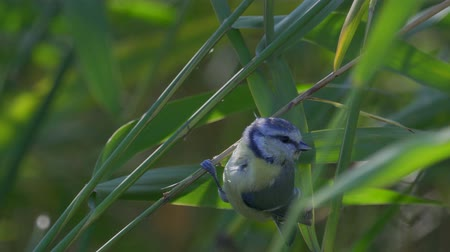 yırtıcı hayvan : Bird - Eurasian Blue Tit (Cyanistes caeruleus) sits on a bush of reeds. Close-up. Strong wind. Stok Video