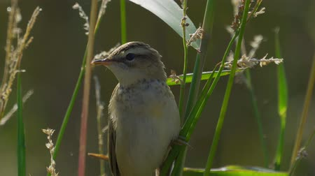migração : Bird - Common Grasshopper-warbler (Locustella naevia) sits on a bush of reeds. Close-up.