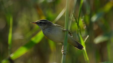 çekirge : Bird - Common Grasshopper-warbler (Locustella naevia) sits on a bush of reeds. Close-up.
