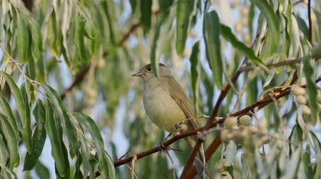 певчая птица : Bird - Eurasian Blackcap (Sylvia atricapilla) sitting on a branch of a tree. Close-up.