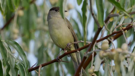 ave canora : Bird - Eurasian Blackcap (Sylvia atricapilla) sitting on a branch of a tree. Close-up.