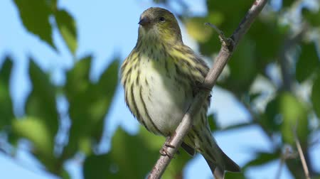 певчая птица : Bird - Eurasian Siskin (Spinus spinus) sitting on a branch of a tree. Close-up. Стоковые видеозаписи