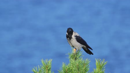 carrion : Gray crow (Corvus cornix) is sitting on the top of a pine tree and screams on a sunny autumn day. Stock Footage