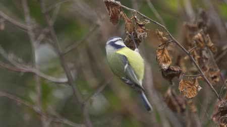 певчая птица : Bird - Eurasian Blue Tit (Cyanistes caeruleus) jumping on branches and looking for food. Close-up.