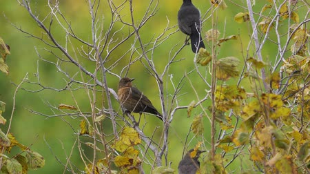 turdus merula : A birds - Eurasian Blackbirds (Turdus merula) sitting in a bush. Stock Footage
