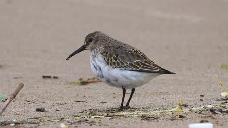 Bird - young Dunlin (Calidris alpina) walks along the sandy shore, finds food and eat it. Closeup.