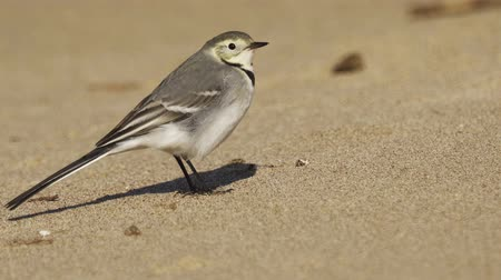 Bird - young White Wagtail (Motacilla alba) walks along the sandy shore. Closeup.