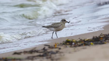 Bird - young Gray Plover (Pluvialis squatarola) walks along the sandy shore, finds food and eat it.