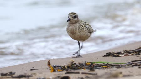 Bird - young Gray Plover (Pluvialis squatarola) walks along the sandy shore, finds food and eat it. Closeup.