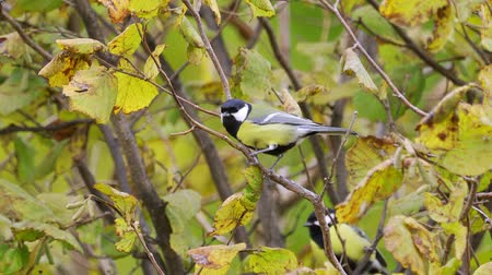 A bird - Great Tit (Parus major) sitting in a bush. Stock Footage