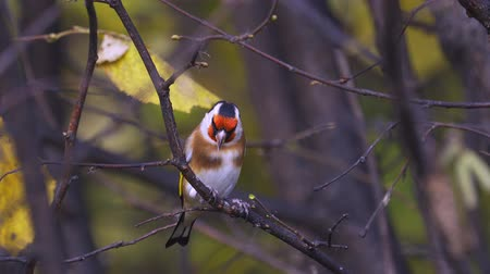 Bird - European Goldfinch (Carduelis carduelis) jumping on branches and looking for food. Close-up.