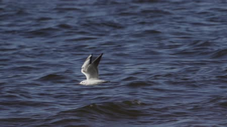 Bird - Mew Gull (Larus canus) flies on the water. Slow motion.