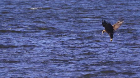 accipitridae : Bird - White-tailed Sea-eagle (Haliaeetus albicilla) flies on the water. Slow motion.