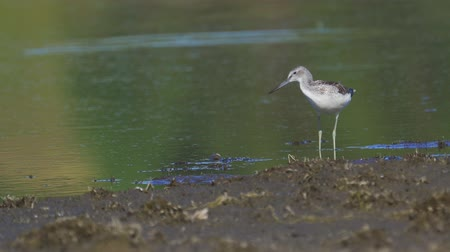 Bird - young common greenshank (Tringa nebularia) walks through the swamp. Sunny autumn day.
