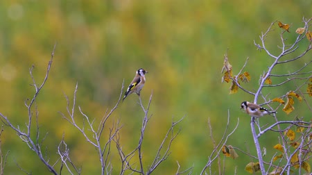 Birds - European Goldfinches (Carduelis carduelis) sitting on tops and resting. Stock Footage