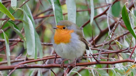 Bird - European Robin (Erithacus rubecula) sitting on a branch of a bush. Close-up. Stock Footage