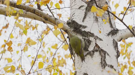 picidae : Bird - Gray-faced Woodpecker (Picus canus) creeps along the trunk of a birch. Stock Footage
