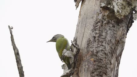 Bird - Gray-faced Woodpecker (Picus canus) creeps along the trunk of a birch. Stock Footage