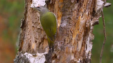 picidae : Bird - Gray-faced Woodpecker (Picus canus) creeps along the trunk of a birch. Close-up.