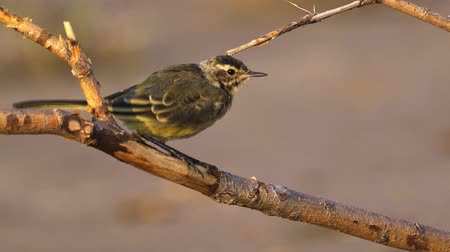 A bird - chick Citrine Wagtail (Motacilla citreola) sits on a dry branch and cleans its feathers. Close-up.