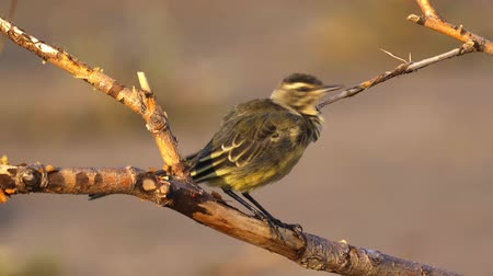 csaj : A bird - chick Citrine Wagtail (Motacilla citreola) sits on a dry branch and cleans its feathers. Close-up.