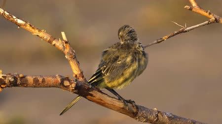 ave canora : A bird - chick Citrine Wagtail (Motacilla citreola) sits on a dry branch and cleans its feathers. Close-up.