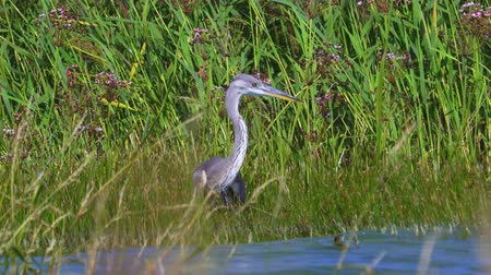 Gray heron bird (Ardea cinerea) hiding in the thicket of reeds on a sunny summer day. Stock Footage