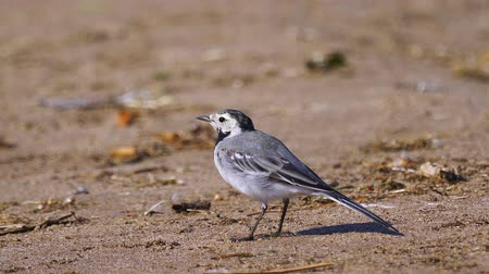 ave canora : A bird - White Wagtail (Motacilla alba) walks along the sandy shore catches flies and eats them. Close-up. Vídeos
