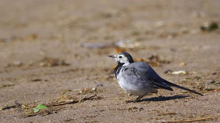 alba : A bird - White Wagtail (Motacilla alba) sitting on the sandy shore and cleans its feathers. Close-up. Stock Footage
