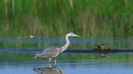 predatory bird : Gray heron (Ardea cinerea) slowly walks in shallow water and hunts fish on a sunny summer morning.