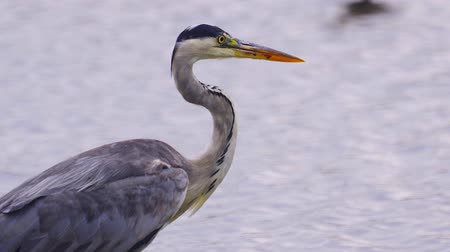 predatório : Gray heron (Ardea cinerea) slowly walks in shallow water and hunts fish on a rainy summer day. Close-up. Vídeos