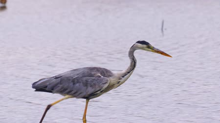 predatory bird : Gray heron (Ardea cinerea) slowly walks in shallow water and hunts fish on a rainy summer day. Close-up. Stock Footage