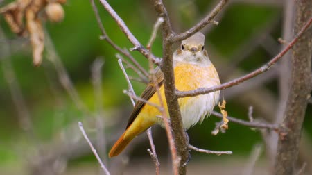 Bird - Common Redstart (Phoenicurus phoenicurus) sitting on a branch of a tree. Close-up. Stock Footage